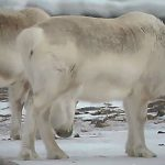 Hungry reindeer in Svalbard began to eat seaweed due to climate change