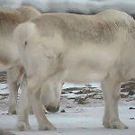 Hungrige Rentiere in Svalbard begannen aufgrund des Klimawandels Seetang zu essen