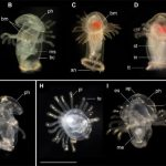 Biologists have discovered a previously unknown species of larvae in the ocean. In whom they grow up - not installed