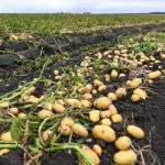 Experts have found an effective way to protect potatoes from soil diseases