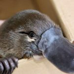 Researchers find that platypuses will die out in the coming years