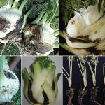 New pathogen threatens fennel worldwide