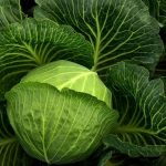 Scientists spoke about the benefits of cabbage for the circulatory system