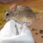 Scientists have found a mouse at the highest altitude