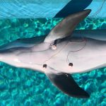 Dolphins can monitor their heart rate while diving