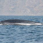 Виявлена нова популяція синіх китів зі своєю унікальною піснею