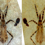 Scientists have connected the genitals of an ancient insect and learned its type