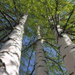 In Russia, birch bark began to make medicine for the prevention of COVID-19