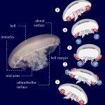 Medúzy vytvářejí efekt obrazovky od povrchu, aby plavaly o 41% rychleji