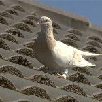 Голуба, який перетнув Тихий океан, вб'ють за порушення карантину