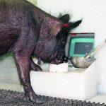 علم العلماء الخنازير أن تلعب ألعاب الفيديو دون تقطيع