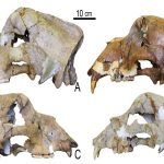 Extinct cave bear genome sequenced from 360,000-year-old bone