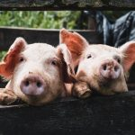 Huawei will release a system for raising pigs