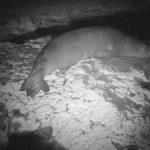 Site de reproduction trouvé pour les espèces de phoques les plus rares au monde