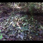 Малайзійські свині-руйнівники насправді допомагають у відновленні лісів