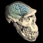 Сучасний людський мозок вперше розвинувся у наших предків 1,7 млн років тому