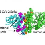 Scientists have studied over 1,000 combinations of mutations in coronavirus thorn proteins