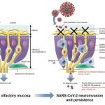 The mechanism of the loss of smell when infected with coronavirus discovered