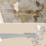 The huge tail of a feathered dinosaur helped it mate, but made life very difficult