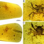 شاهد أقدم سلطعون عمره 99 مليون سنة. يتم حفظه في العنبر
